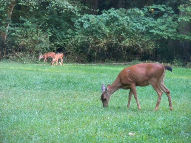 deer and fawns MAIN & WILD MAMMALS & PHOTOS & BLOG