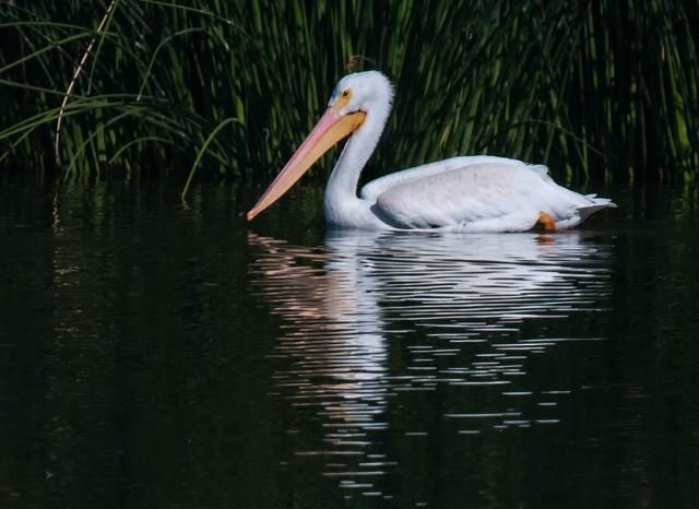 Tres Rios Pelican and BIRDS MAYBE & WIN& WILD BIRD, ETC & BLOG
