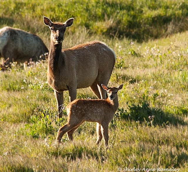 Tule Elk family WILD MAMMALS & BLOG