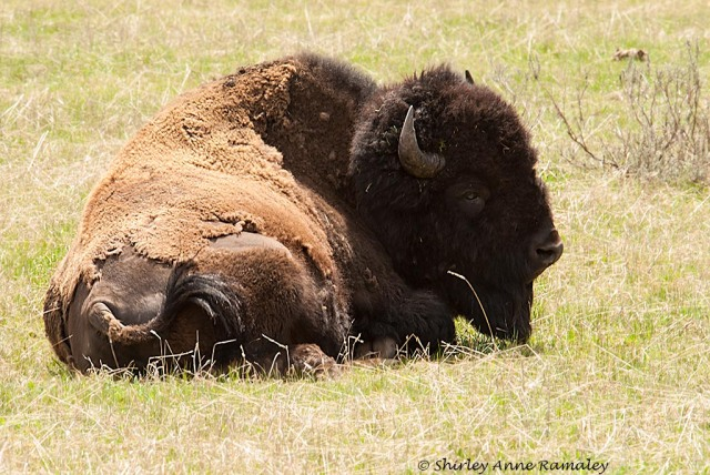 Yellowstone-105 WILD MAMMALS & PARKS