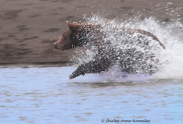 Bears of Salmon Creek-395WILD MAMMALS & BLOG