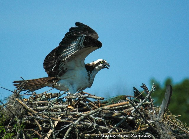 Osprey 4 On Nest MAIN