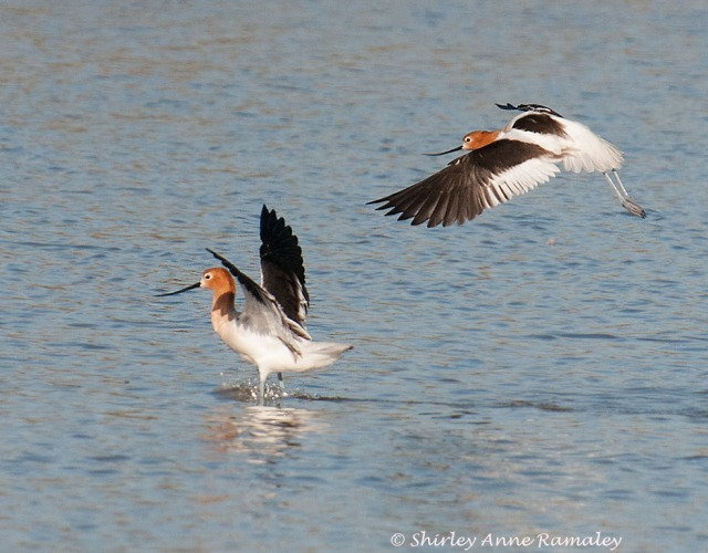 Avocets BIRDS & MAIN & BLOG