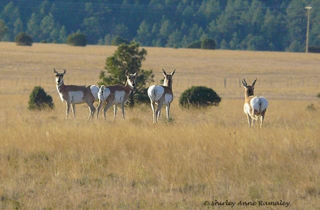 White Mountains Oct 2009 WILD MAMMALS & NA NATURE & WILDLIFE & MAIN & BLOG