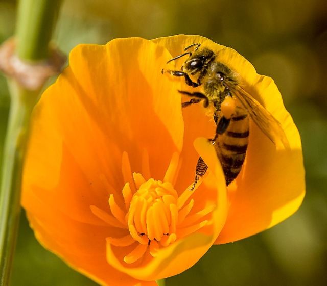 Bee on Poppy USED IN NATURE and PHOTO & HIGHWAYS & WIN & BUGS & MAIN & BLOG