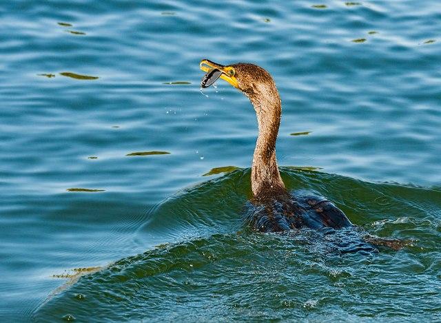 Cormorant 1 BLOG