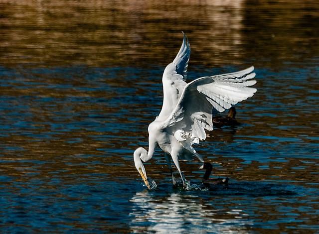 Egret 1 BIRDS & BLOG