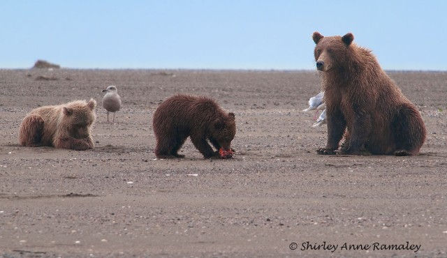 Bears of Salmon Creek-367 WIN & WILD MAMMALS & BLOG