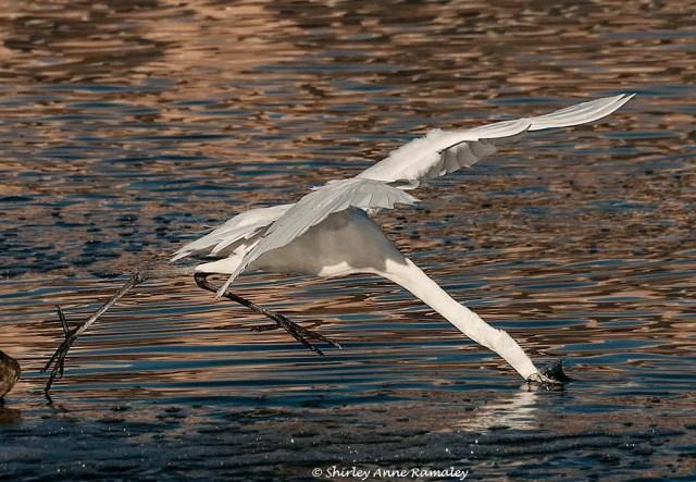 Arrowhead Egret 5 WILD & BLOG