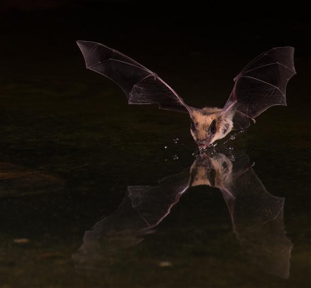 Bat 3 Big Brown NATURE & BLOG