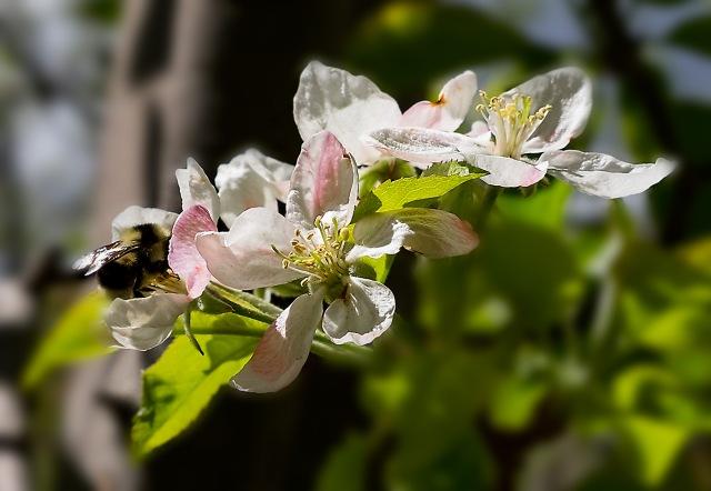 Apple Blossoms MAIN & BLOG