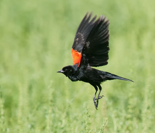 Red Winged Blackbird SW BIRDS & MAIN & BLOG