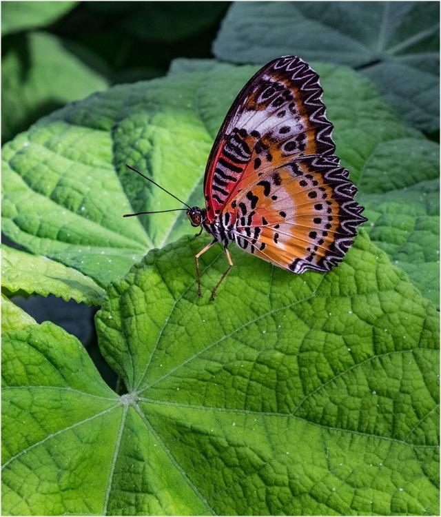 Butterfly 1 MAIN