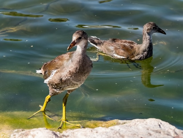 young-moorhens-blog