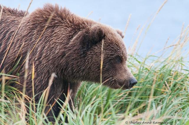 bears-of-salmon-creek-557-nature-world-wild-bird-etc-passion-n-american-nature-wildlife-main-blog