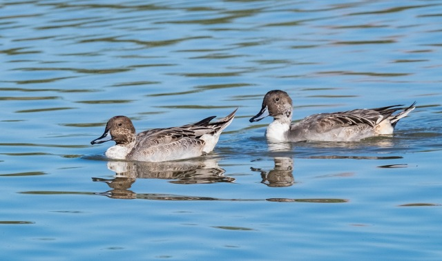 pintails-1-main-blog