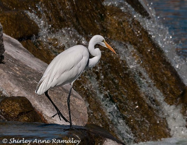 egret-at-arrowhead-waterfall-main-blog