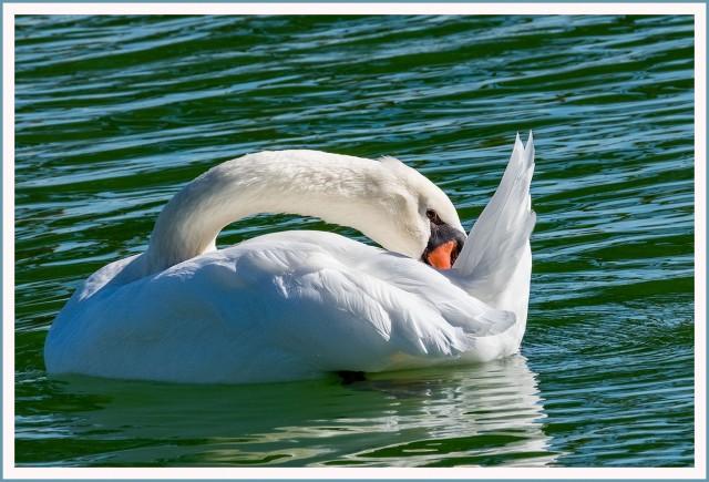 mute-swan-main-blog