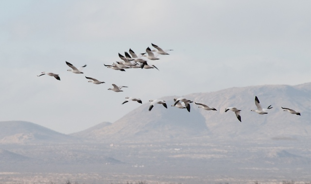 Snow Geese 2 MAIN & BLOG.jpg