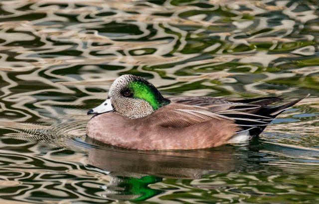 wigeon-1-birds-blog