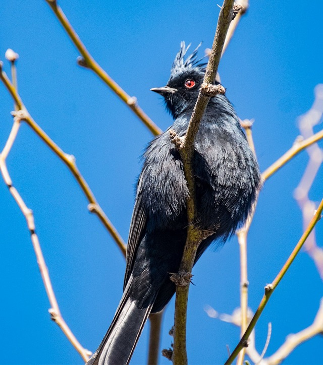 phainopepla-blog-main