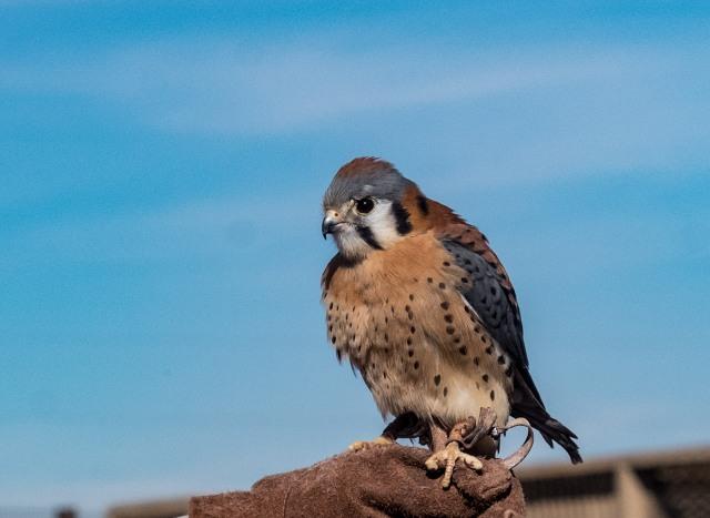 kestrel-main-birds-blog