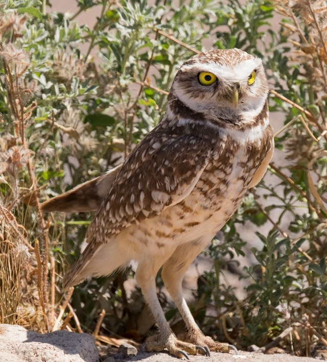 Burrowing Owl 2 MAIN & AZ PHOTOS & BLOG