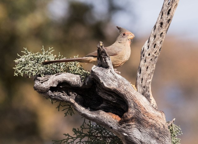 Female Phrrhuloxia 1 MAIN, SMALLEY NATURE, PHOTO OF DAY & PHOTO