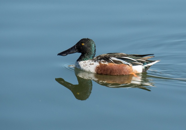 Northern Shoveler AZ PHOTOS & BLOG & PHOTO OF DAY