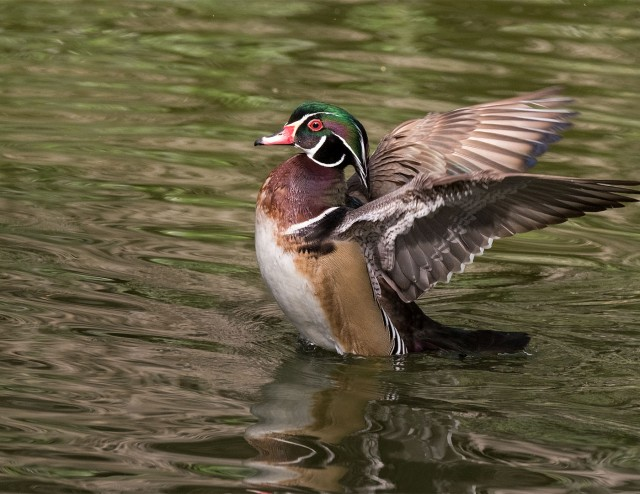 Wood Duck MAIN & WVC & BLOG