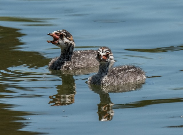 Grebe babies MAIN & BLOG & PHOTO OF DAY