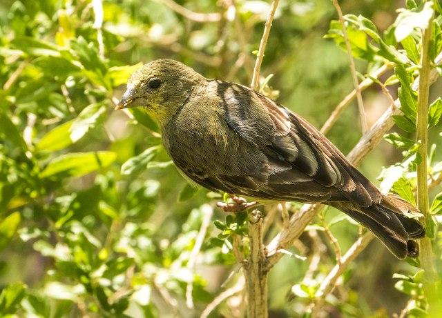 Lesser Goldfinch AZ BIRDS & BLOG