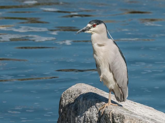 Night Heron AZ BIRDS & BLOG