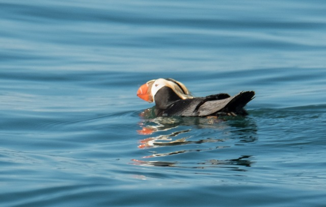 Puffin Resurrection Bay MAIN, BLOG