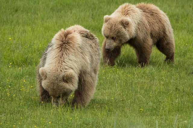 Bears 2 WILD MAMMALS & BLOG