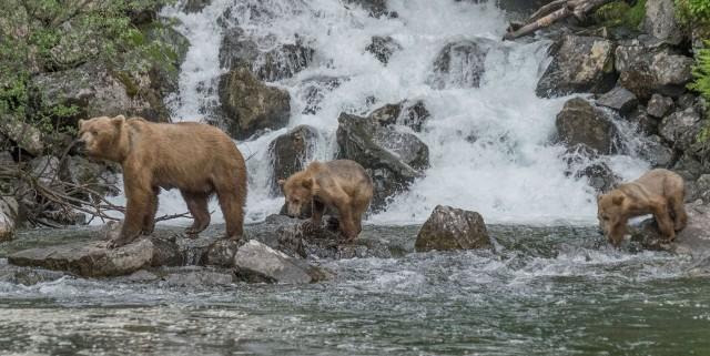 Bears at the falls MAIN, NAT NATURE, WVC & BLOG