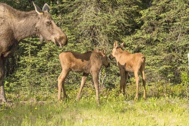 Moose 2 WILD MAMMALS, MAIN & BLOG