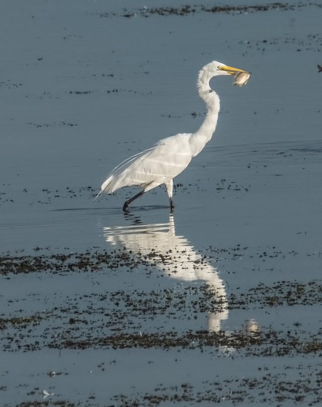 Egret 1, BIRDS, WVC, BLOG
