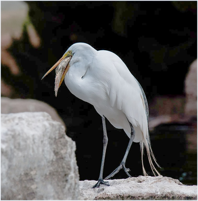 Egret Freestone BIRDS and NATURE, BIRDS, WVC BLOG