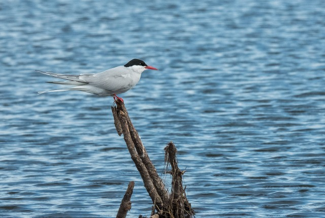 Artic Tern LPHOTO, BLOG
