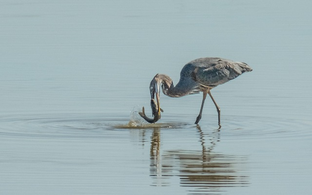 Great Blue with fish SW BIRDS, LPHOTO, WVC, BLOG