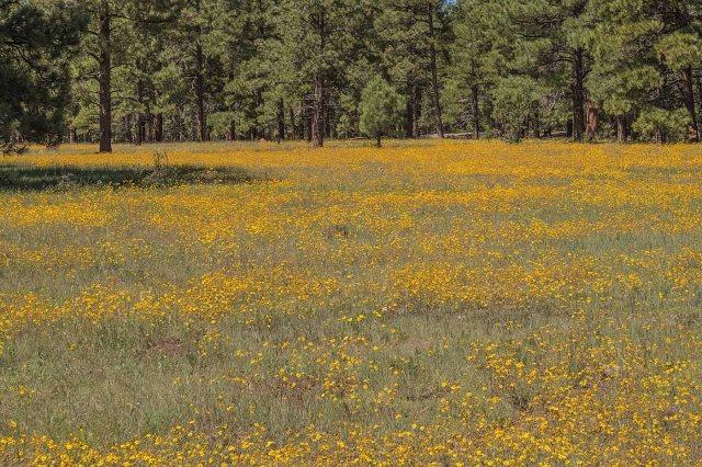 Meadow 1 MAIN, BLOG, AZ WILDFLOWERS