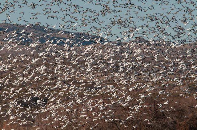 Snow Geese Blast Off BIRDS, BLOG