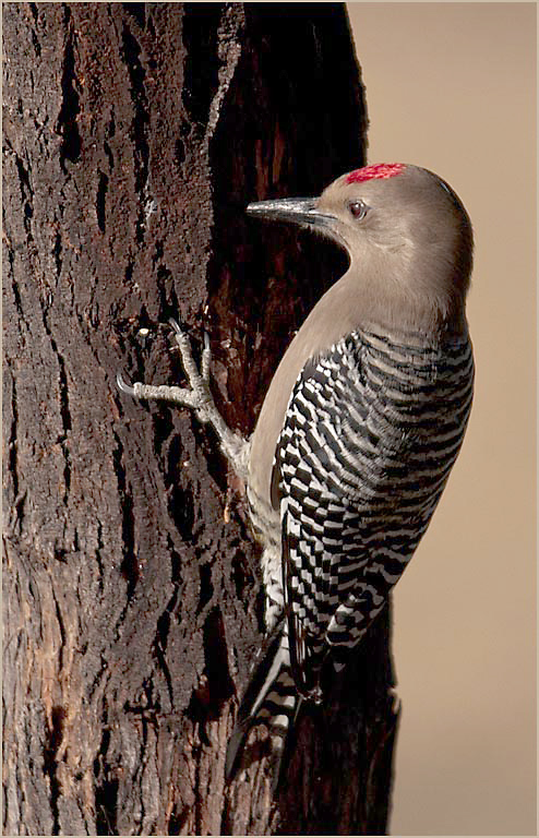 Gila Woodpecker MAIN, BLOG