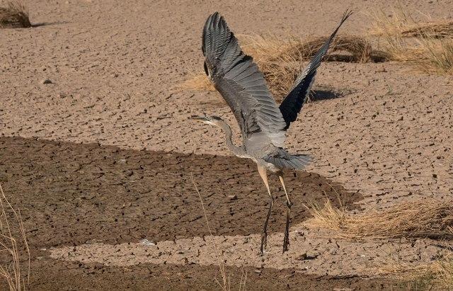 Great Blue SWBIRDS, BLOG