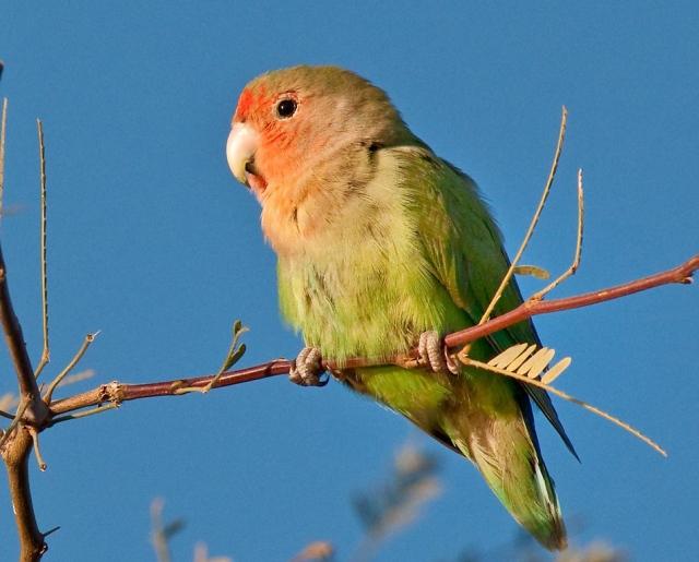 Peach-faced Lovebird MAIN, BLOG