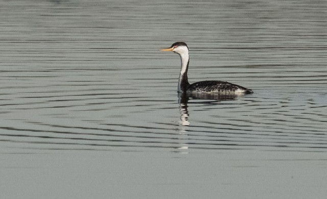 Western Grebe SWBIRDS, BLOG