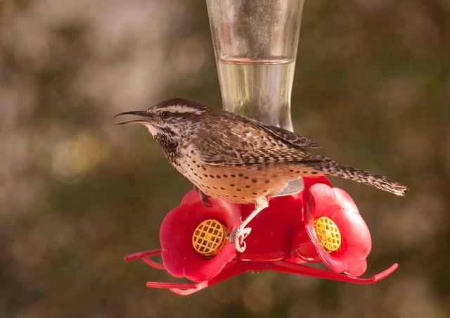 Cactus Wren, SW BIRDS, BLOG