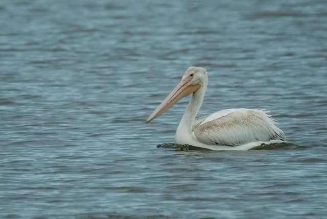 Pelican Pond 3 SWBIRDS, BLOG