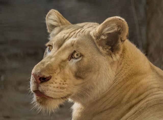White Lioness MAIN, LPHOTO, BLOG